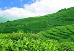 多点无线土壤墒情监测站为庐山云雾茶提供支持